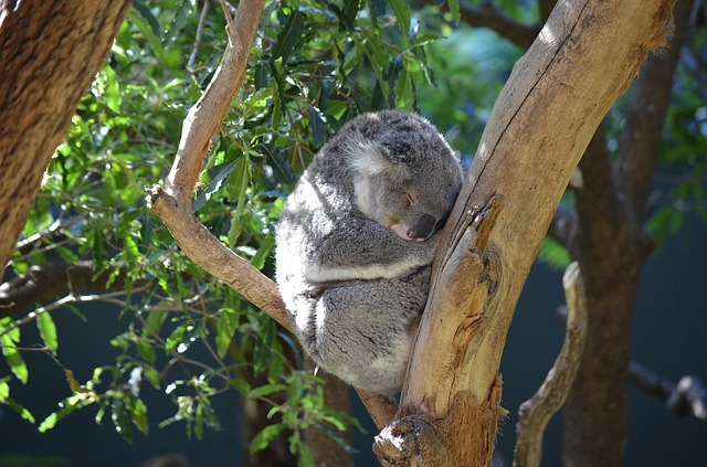 koala 2010177 640 - シドニーに行こう!基本情報、行き方、観光地、留学、ワーホリまで徹底解説!