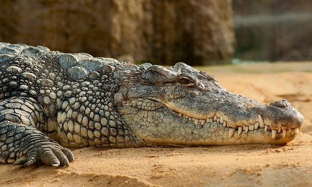 nile crocodile 245013 640 - ブリスベンに行こう!基本情報、行き方、観光地、留学、ワーホリまで徹底解説!
