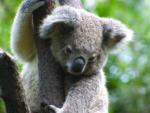 koala 1 150x113 - 必要な貯金はいくら?オーストラリアのワーキングホリデー費用
