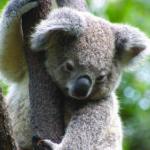 koala 1 e1564991020538 - 必要な貯金はいくら?オーストラリアのワーキングホリデー費用