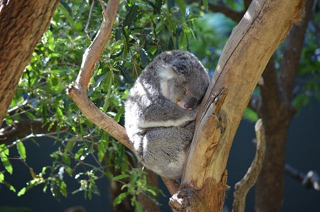 koala 2010177 640 - シドニー留学のおすすめ語学学校を徹底比較!費用と特徴まとめ